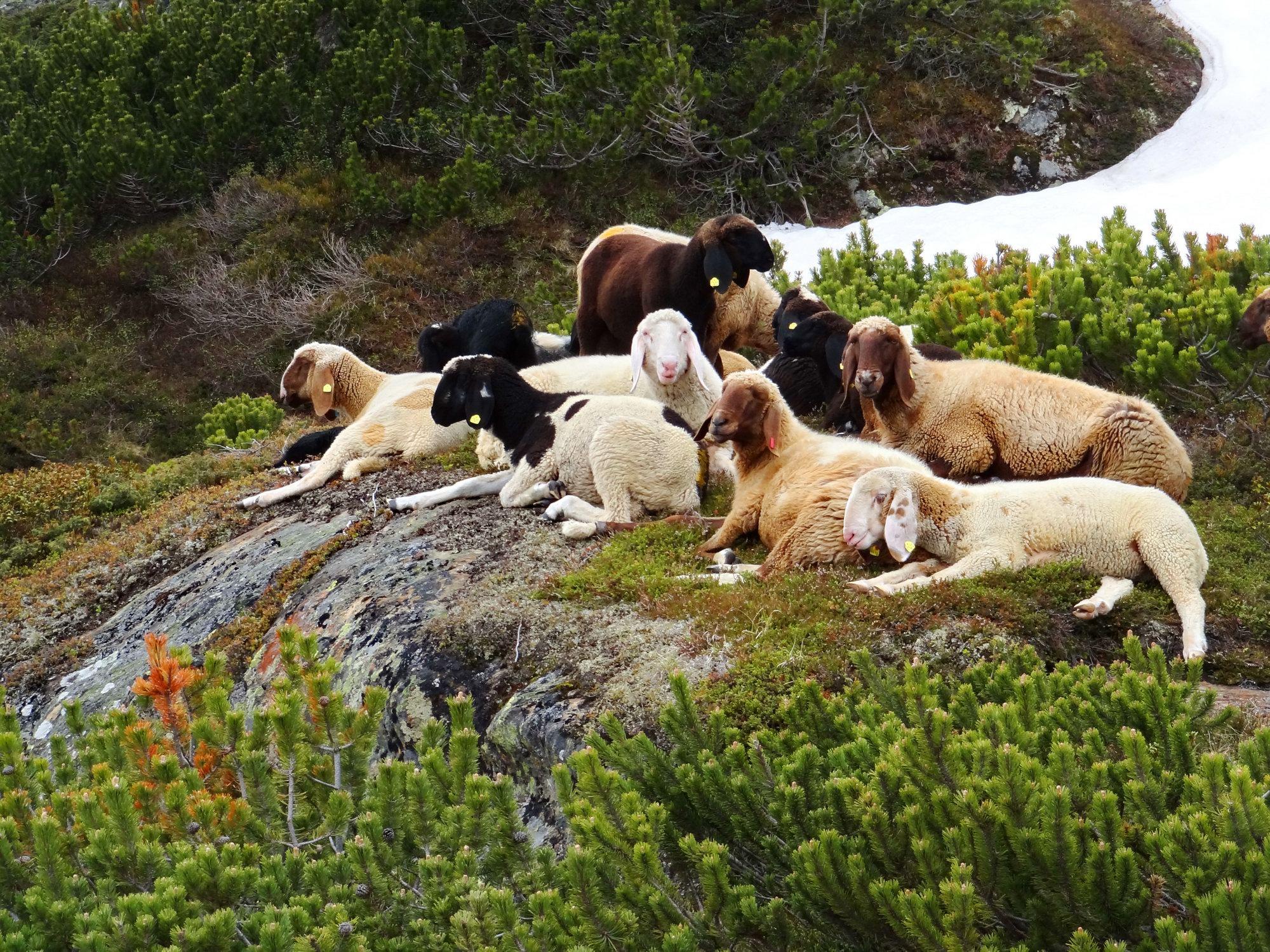 Sheeps around Sulzenau hut