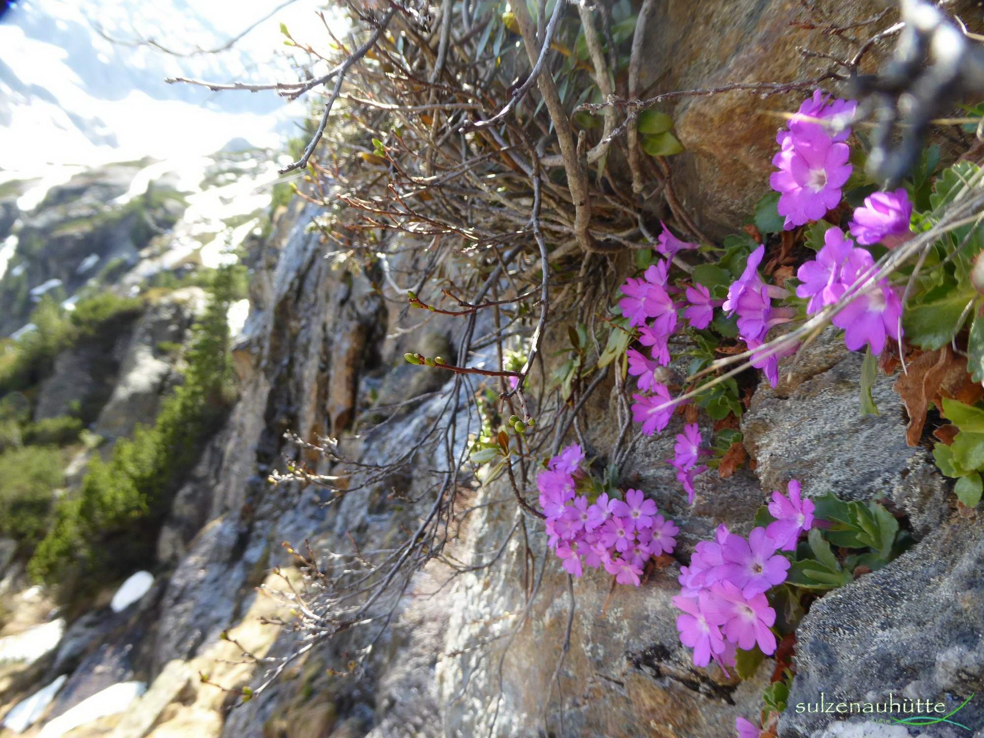 Wild Water Trail - Primula minima